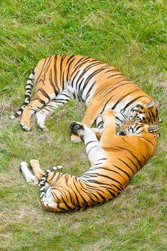 Parque d la naturaleza de Cabárceno #Cantabria #Spain Beautiful Cats, Big And Beautiful, Animals Beautiful, Especie Animal, Tiger Love, Big Cats, Infatuation, World, Tigers