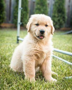 Jaxson ~ Golden Retriever Pup ~ Classic Look