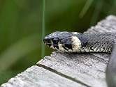 Užovka obojková (Natrix natrix) Animals, Virginia, Animais, Animales, Animaux, Animal, Dieren