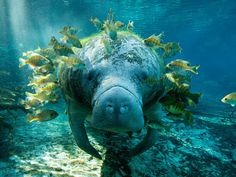 Photographer Yusuke captures the moment a manatee is surrounded by little fish which are eating algae, parasites and dead skin.