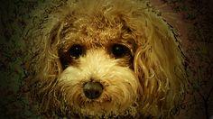 nodasanta - pick(ピック) #イラスト #トイプードル #犬 愛犬ティアモのデカ顔の原画です、この絵を変化させて行きぬいぐるみ風に、追加していきましたので、この顔が愛犬ティアモの似顔絵です、可愛いでしょう!!!  Joan Baez - let it be (live in France, 1973) http://youtu.be/TjQY_kPfwuo