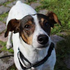 Suomessa kotihoidossa   Dog Breed   Espanjan Katukoirat ry