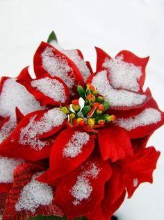 Poinsettia in snow
