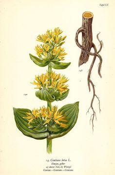 GELBER ENZIAN Botanik Farbdruck Antiker Druck Antique Botanical Print