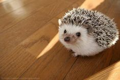 Hedgehogs make cute pets. This is a collection of cute hedgehog videos and funny hedgehog videos. Check out this cute and funny hedgehog videos compilatio. Funny Hedgehog, Pygmy Hedgehog, Baby Hedgehog, Hedgehog Food, Hedgehog Animal, Cute Little Animals, Cute Funny Animals, Pet Day, Pet Costumes