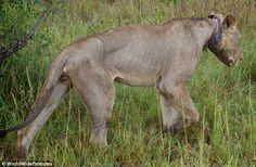 Agonising death of the King of the Jungle: Young lion doomed to starve after poacher's snare got caught so tightly round his neck he couldn't eat Read more: http://www.dailymail.co.uk/news/article-2147630/Lion-poachers-wire-neck-Tanzania.html#ixzz39KreTPvl Follow us: @MailOnline on Twitter | DailyMail on Facebook The final journey: The lion slopes off into the long grass of the park where he would soon die either of starvation or infection.