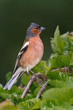 Buchfink by Marc Tornambé / Wild Animals Videos, Animals And Pets, Bird Pictures, Horse Pictures, Small Cottage Garden Ideas, Chaffinch, Music Like, Beautiful Birds, Creatures