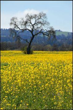 Yellow mustard fields, Bodega Bay, California༺E♥e༻ Yellow Fields, Fields Of Gold, Beautiful World, Beautiful Places, Bodega Bay, Yellow Fever, Field Of Dreams, Yellow Brick Road, Abundant Life