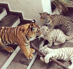 What a group! Somebody let in a non-tiger baby. Mama Tiger will bathe him and feed him with her own babies. Crazy Cat Lady, Crazy Cats, Big Cats, Cats And Kittens, Cute Cats, Animals And Pets, Baby Animals, Funny Animals, Cute Animals