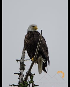 One of the best shots I got of a Bald Eagle in the Broken Group of Islands on Vancouver Island.  This one was perched on a dead tree on a small island hunting for salmon that we often saw jumping out of the water around us.  I never get tired of seeing these massive birds in the Pacific Northwest and it's great to see their strong comeback over my lifetime. #BC #VancouverIsland #BGI #BrokenGroup #PacificNorthwest #BCLife #VancouverIslandLife #BaldEagle #Eagle #getoutside #optoutside…