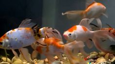 HOW Fish tank wallpaper hd for full tankfish 2017 Edited Video I created this video with the YouTube Video Editor (http://www.youtube.com/editor) #fish #tank #howto #make #design #aquarium #FHD #1080P #NEW #2017 #Freshwater #Setup #Disease #Breeding #Plants #Books #Articles #Saltwater  #Guide #Reef #Coral #Live #Rock #Equipment #Reviews #Light #Brine #Shrimp #Hatchery #Osmosis #UV #Sterilizer #Chiller #most #pictures #videos  #movies #youtube #ever  Freshwater Fish Barbs Betta Catfish…