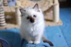 A siamese kitten looking towards the camera with its head tilted to the side.