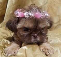 Quality ShihTzu for quality homes for Pets and Therapy dogs. We offer LIFETIME advice for your Glory Ridge ShihTzu. Imperial shihtzu to standard size shihtzu in every color. Shitzu Puppies, Therapy Dogs, Shih Tzu, Missouri, Queen, Pets, Animals, Animales, Animaux