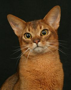 Abyssinian Cat | Abyssinian Cats * * LET'S GET ABYSSINIAN. WHADYA MEAN YOU ' DON'T KNOW HOW' ?""