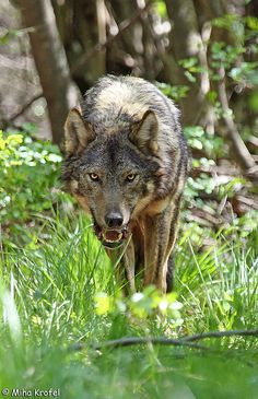 ☀Grey wolf Canis lupus on Mt. Slavnik in Slovenia ~ approaching wolf, by Miha Krofel