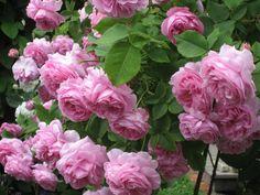 'Louise Odier' a pink Bourbon rose dating to 1851 | Kärleksstigen: English Roses