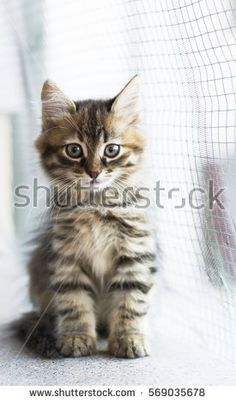 beauty siberian puppy cat,brown version