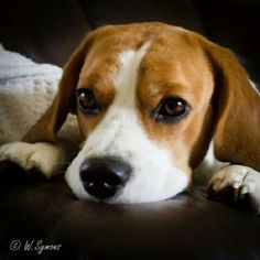 Beagle eyes. Love my Beagle.