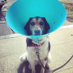 最近SNSお休みしてましたー😴 うちの愛犬Cocoちゃんが病気になってしまいました🐶💦 病院で診てもらってもずっと良くならなくて😭 朝からトリマーしてる高校の同級生に電話して相談に乗ってもらったらセカンドオピニオンとアニマルネッカーの提案をしてくれたので即病院へ行ってきました🏥 セカンドオピニオンして良かった😭 凄く良く見てくれて、色々検査もしてくれました✨ 早く良くなるといーなー❤️ 「今日からエリマキトカゲだワン🐶」 * 何年かぶりに急に電話したのに親切に教えてくれた神対応の友達に感謝でいっぱい😭 本当にありがとう!!!! #愛犬 * #flowergirl  #フラワーガール ←お店の名前 * #アメーバブログやってます 「flowergirlの花贈り」で検索 #オーダーはDMまたはお電話でお受け致します。  お花を贈りたいけどどうやってオーダーするんだろう?  どんなお花がいいのか全然分からないetc... お気軽にご相談下さいね😊  電話番号09072551416 *…