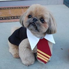 """Click visit site and Check out Best """"Shih Tzu"""" T-shirts. This website is superb. Tip: You can search """"your name"""" or """"your favorite shirts"""" at search bar on the top."""