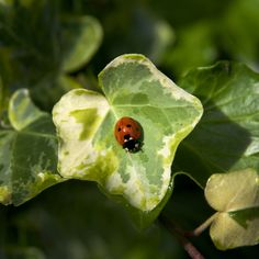 Ladybird on Ivy