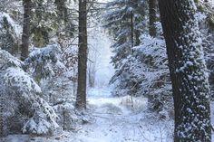Snöig skog.