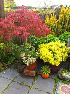 """the purple pot holds a golden barberry, the fancy-leafed, tricolor geraniums are my favorite 'Mrs. Pollock""""."""