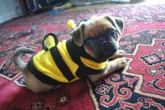 22 Pugs Who Dress to Impress - BarkPost