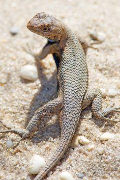 All You Need To Know About Dessert Tortoise Care Chameleon Lizard, Small Lizards, Tortoise Care, Green Iguana, Komodo Dragon, Reptiles And Amphibians, Beautiful Birds, Animal Kingdom, Pet Birds