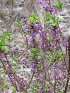 Gewöhnlicher Seidelbast ❀ TERRA-Pflanzenhandel