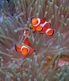 perfect picture of a symbiotic relationship! clown fish and the sea anemone Saltwater Aquarium Fish, Saltwater Tank, Reef Aquarium, Colorful Fish, Tropical Fish, Beautiful Fish, Animals Beautiful, Foto Macro, Marine Colors