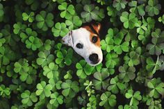 "2,238 Likes, 100 Comments - Follow my adventures (@faith.the.jack.russell) on Instagram: ""Just wanted to say Happy St. Paddy's Day ☘️ #jrtpost #jrt #instapuppy #instalove #instaday…"""