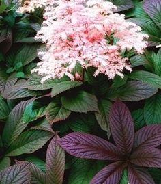 Роджерсия Superba - Растения » Многолетние цветы » Роджерсия » Роджерсия Superba