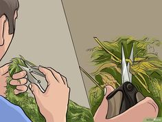 How to Trim Marijuana. Marijuana plants must be well cared-for and carefully harvested. Wear gloves and choose the time you trim your plants carefully. Trim the top off your plant to allow the leaves to get more light. Hydroponic Grow Systems, Hydroponics, Marijuana Plants, Cannabis Plant, Marijuana Recipes, Yellow Leaves, Image Title, Bud, Gardening
