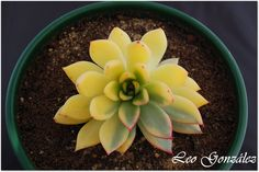 "Echeveria agavoides ""Red Tip"" Variegated - Flickr - Photo Sharing!"