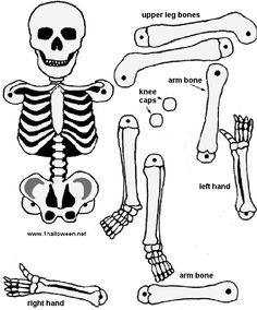 make a paper skeleton to label bones | school | pinterest, Skeleton