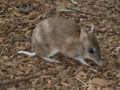 Eastern Barred Bandicoots have one of the shortest gestation periods of any mammal, females are pregnant for just 12.5 days