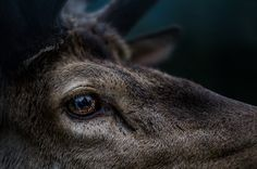 The secret in their eyes - Adult male deer. Picture taken during a trekking in…