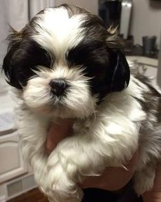 Adorable Female CKC Shih Tzu Puppy Awwww...I bet Molly looked like this as a pup! #shihtzu #shihtzupuppy