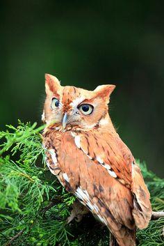 Eastern Screech-Owl!