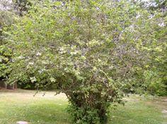 Corylus cornuta beaked hazelnut