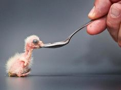 Baby Parrot Gets Fed by Spoon.   AWW! its soooo tiny! so cute and small!
