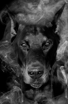 Simply AWESOME #Doberman photography.