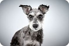 King Georgie by Richard Phibbs.  He is a Miniature Schnauzer up for adoption at the Humane Society of New York.