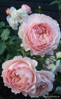 Rose de Gerberoy ®