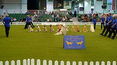 Golden Retriever dance troup performs at London Pet Show
