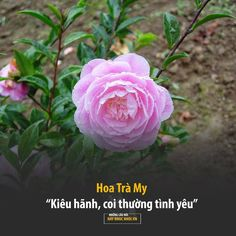 All Flowers, Flowers Nature, Beautiful Flowers, Flower Meanings, Rose, Buddha Teaching, Plants, Hana, Quotes