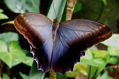 Owl Butterfly, Caligo memnon, Central America through N. South America