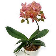 Záhrada a príroda - Pestovanie - Phaleanopsis: Jak na ni? Giving Flowers, Love Thoughts, Flora, Garden, Exotic Flowers, Garten, Plants, Gardens, Tuin