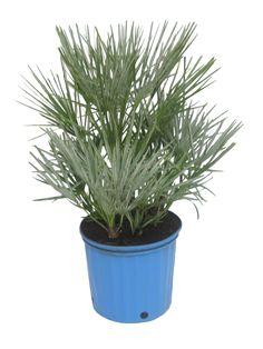 Die hanfpalme im garten oder als zimmerpflanze beides - Hanf zimmerpflanze ...